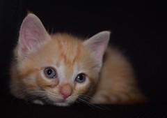 Tiny but mighty -Amelia (HappyLenss) Tags: animals animal adorablekitten cutecat cat cutekitten babycat orangekitten babykitten orange kitten