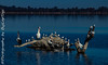IMG_6459 (travelling photographers) Tags: animals australianpelican barmera birds lakebonney riverland sa states