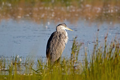 Grey Heron (Ardea cinerea) (MagnusGustafsson) Tags: gråhäger ardea cinerea grey heron birds fåglar birding nature outdoor