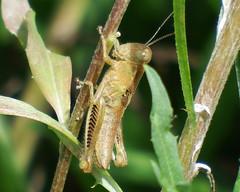 Just Chillin (kendoman26) Tags: insect grasshopper macro closeup fuji fujifinepix fujifinepixs1 bridgecamera