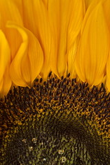 Sunflower (suzanne~) Tags: macro sunflower floral botanical detail petals summer