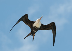 Frigatebird (_quintin_) Tags: frigatebird kilauea point kauai hawaii animal bird