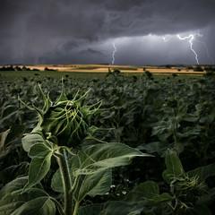 Stormflower (edited) (Fratercula arctica) Tags: gimp thunderstorm maisach odelzhausen sunflower storm stormflower