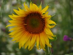 IMG_9221 (germancute) Tags: wildflower nature outdoor blume flower summer sommer wiese