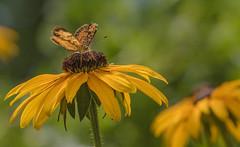 20170716-_Y4A4236 (digiphotonut) Tags: backyard blackeyedsusan butterfly edgewood insect kentucky macro flower