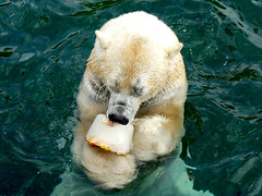 "Today ""National Ice Cream Day in the USA""  ❤ (BrigitteE1) Tags: nationalicecremeday nationalereiscremetag eisbär polarbear ursusmaritimus eis ice eiscreme icecream 16juli july16th fun spas zoo"