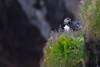 Puffin in his environment (Role Bigler) Tags: alcidae canoneos5dsr cliff ef4070200isusml efextender14iii fraterculaarctica highiso natur nature papageientaucher puffin wasservogel bird dyrhólaey klippe nordatlantik northatlantic vik vogel