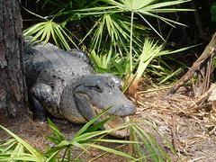 alligator (kenjet) Tags: orlando gatorland florida gator gators alligator alligators reptile nature animal crocodilian crocodilianreptile head snout