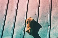 Bežo 6 @catsedition9 (Robert Krstevski) Tags: robertkrstevski robertkrstevskiblogspotcom photography photooftheday photograph photo photographer catsphotography catsedition9 cat cats pet pets animal animals animallovers animalslove kitty kitten kittens kitties кошки котка котки popular macedonia