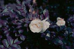 rose (inmno) Tags: lomochrome purple lomography aerochrome minolta ishootfilm