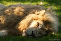 Lion sleeps tonight (FrenchFFFDNY) Tags: lion white whitelion africa afrique félin felin