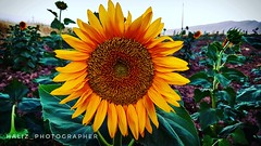 Sunflower is lady sunshine. By my galaxys7 phone to see more photos visit my Instagram page @haliz_photographer (Haliz Photography) Tags: sunflower flower yellow my galaxys7 samsungcompany samsung photography flicker love happy nature field fantasticnuture