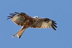 Red Kite (drbut) Tags: redkite milvusmilvus accipitridae birdofprey carrion nature wildlife canon300f4isl