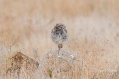 Sleepy Burrowing Owl