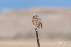 Burrowing Owl on a mullein plant