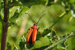 opening (michaelmueller410) Tags: insekt käfer bockkäfer red longhorn beetle stictoleptura rubra insect diestel rot grün macro makro closeup sun sunlight starting
