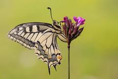 Papilio machaon (HelmiGloor) Tags: papiliomachaon schwalbenschwanz ritterfalter tagfalter butterfly wildlife weiach schmetterling macro makro olympusmzuikodigitaled60mm olympusomdem1mkii focusstacking insekten insecta