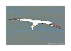 Gannet over the sea (prendergasttony) Tags: gannet flight cliff bempton rspb bird avian pov dof nikon d7200 wings birdwatching outdoor nature wild roosting nesting yorkshire england morus bassanus diving action gliding flying elements glide feathers soar wingspan coast coastline photoshop sea aerial summer july ƒ80 640 panning photoborder eyes thermal