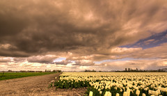 Dutch tulips aren't afraid of no cloud. (Alex-de-Haas) Tags: oogvoornoordholland 1635mm d750 dutch europe hdr holland nederland nederlands nikkor nikon noordholland thenetherlands westfrisia westfriesland westfrieseomringdijk clouds landscape landschap lucht nature natuur skies sky wolken