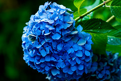 Hydrangea : アジサイ (Dakiny) Tags: 2017 summer june japan kanagawa yokohama aoba ichigao outdoor nature field park plant tree flower flora hydrangea macro bokeh blue nikon d750 sigma apo 70200mm f28 ex hsm apo70200mmf28dexhsm sigmaapo70200mmf28dexhsm nikonclubit