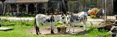 Fronik boerderij - Aart Jan van Mossel 2017 (38) (Stadsherstel) Tags: stadsherstel zaandam zaanstad fronik boerderij herbestemmen restaureren westerwindpad westzanerdijk amsterdam restauratie zaanstreek zaans krot natuur dieren