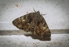 Aeolochroma metarhodata (dustaway) Tags: arthropoda insecta lepidoptera geometridae ennominae aeolochroma aeolochromametarhodata australianmoths geometermoth geometridmoth australianinsects lismore northernrivers nsw australia australianwildlife nature natur