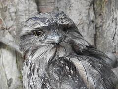 Tawny Frogmouth (Bob Silver :o)) Tags: bird frogmouth tawny