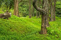 Tales from the Hawaiian Woods (mikeSF_) Tags: bilhawaiilhawai bigisland waipio valley pentax tree bokeh k3ii fa77 77mm limited pano green