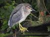 Young Black-crowned Night Heron (Corine Bliek) Tags: bird birds vogel vogels juvenile young jong klein nature natuur hidden water wildlife rare zeldzaam nycticoraxnycticorax