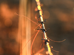 ..catch me if you can.. (dawn.tranter) Tags: dawntranter bokeh sunlight afternoon catch me barb wire barbed friday fence hair cows