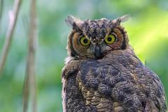 Great Horned Owlet (r) (Melanie Leeson) Tags: gho greathornedowl owlet great horned raptor wildraptor naturephotography melanieleesonwildlifephotography blingsister canon canon7dmarkii canonef100400mmf4556lisiiusm