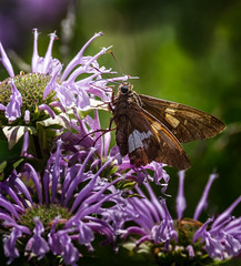Silver - Gold 'n Purple (Portraying Life, LLC) Tags: dbg6 da3004 hd14tc k1 michigan pentax ricoh unitedstates butterfly closecrop handheld nativelighting skipper meadow