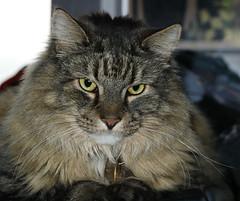 Arnie (fixed eye) (westoncfoto) Tags: cat