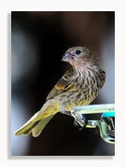 Finch (Dennis J2007) Tags: finch bird birds