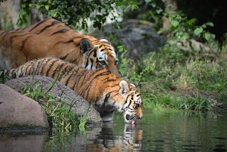 Stay together - mother and daughter | Sibirian Tiger