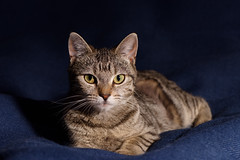 'Candy' (Jonathan Casey) Tags: cat portrait tabby kitten norfolk chums catchums rescue d810 nikon 105mm f28 vr