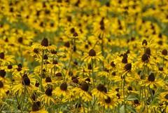 Lost in the crowd.... (Joe Hengel) Tags: lostinthecrowd milton de miltonde lsd lowerslowerdelaware delaware flower flowers summer summertime yellow yellowflower blackeyedsusan