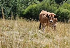 you're the one i choosed (Axel Bobard) Tags: vache cow animal animals animaux mammifère mammal mammals parc naturel des préalpes dazure pature prairie campagne montagne soleil alpes nature natural aubrac france faune