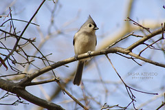 Tufted Titmouse (SashaAzevedoPhotography) Tags: nature wildlife ornithology birds birding perchingbirds titmice tuftedtitmouse baeolophusbicolor charleston southcarolina sashaazevedo 2010photos