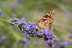 Distelfalter (Anja van Zijl) Tags: schmetterling falter distelfalter edelfalter vlinder insekt animal tier butterfly farfalla vanessacardui garten