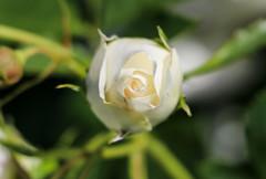 Maig_0006 (Joanbrebo) Tags: barcelona catalunya españa es park parque parc parccervantes jardí jardín gente flors flores flowers fleur fiori blumen blossom 17èconcursinternacionalderosesnovesdebarcelona canoneos80d eosd efs18135mmf3556is autofocus rosa rose