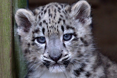 Baby sneeuwluipaard/ snow leopard (soetendaal) Tags: snow leopard léopard des neiges schneeleopard babyanimal cutebabyanimals krefeldzoo zoo germany tierepark onza katachtige azie animalbabies