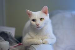 Charlie (rootcrop54) Tags: charlie white allwhite male cat expressions paws neko macska kedi 猫 kočka kissa γάτα köttur kucing gatto 고양이 kaķis katė katt katze katzen kot кошка mačka maček kitteh chat ネコ