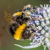 BuffTailedBumbleBee-0008.jpg (vorneo) Tags: bumblebee classinsecta kingdomanimalia bufftailedbumblebee orderhymenoptera wild familyapidae genusbombus phylumarthropoda insect speciesbterrestris subgenusbombus binomialnamebombusterrestris