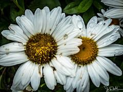 199/365 - Daisy