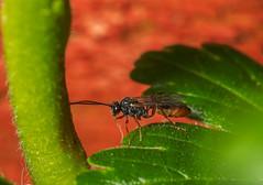 Ichneumon wasp (Alf Branch) Tags: westcumbria wasp ichneumon ichneumonwasp ichneumons insects insect invertibrate macro macrodreams macrosafari olympus olympusomdem1 omd sigma sigma105f28 alfbranch