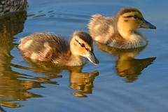 July Ducklings (NaturalLight) Tags: mallard ducklings chisholmcreekpark wichita kansas