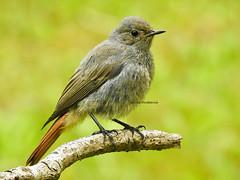 Buztangorri (josuneetxebarriaesparta) Tags: buztangorri colirrojo txoria hegaztia ave pájaro bird