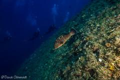 IMG_6065 (davide.clementelli) Tags: scuba underwater underwaterlife diving dive immersione portofino colori colors colore color fishes fish pesci grouper cernia