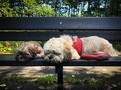 Pooped (ibriphotos) Tags: iphoneonly nap lightroommobile lhasaapso bench iphone6s sleeping iphoneography cooper pup dogwalk cambus dog clackmannanshire poppy dogs
